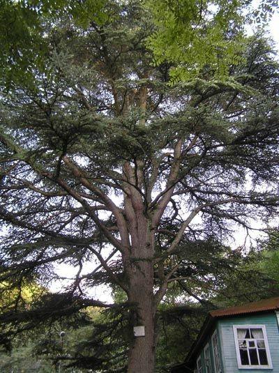 библейское дерево в хут. Джанхот Геледжик