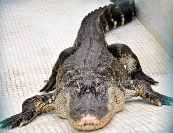крокодил геленджик
